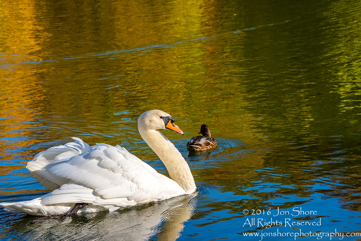 Swan and Duck in Autumn Reflection. Cesis, Latvia, Nikkor 300mm