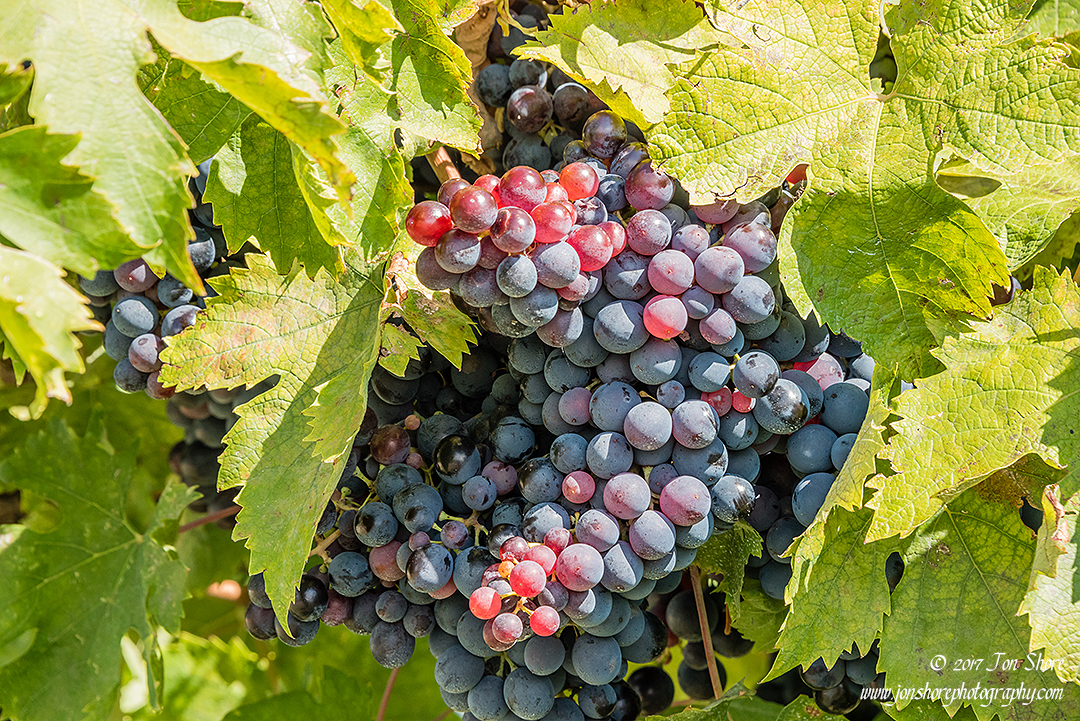Grapes Italy September 2017