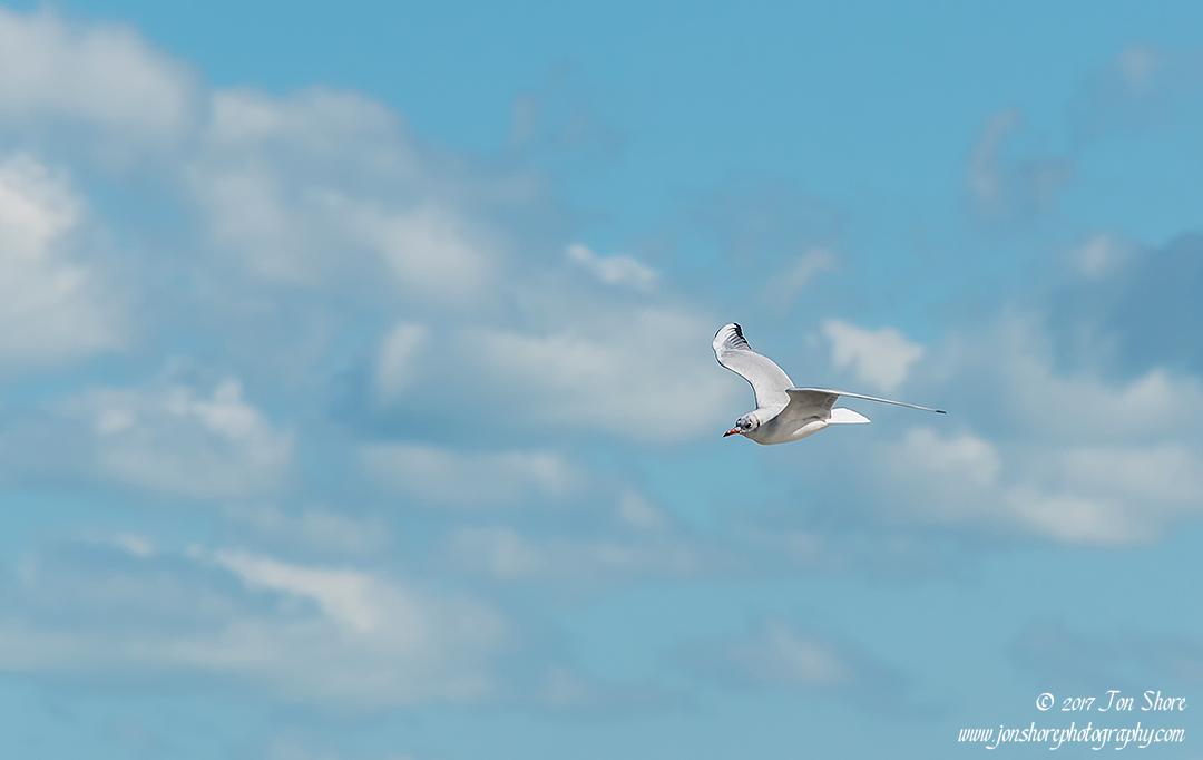 Gull Vasto Italy
