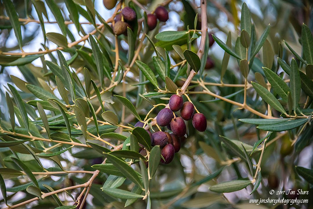 Olives Vasto Italy September 2017
