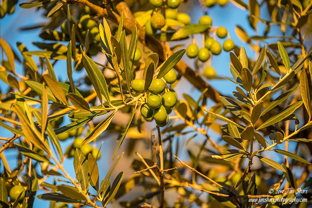 Olives at sunrise Vasto Italy September 2017 by Jon Shore