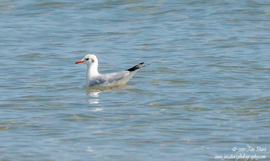 Seagull Vasto Italy