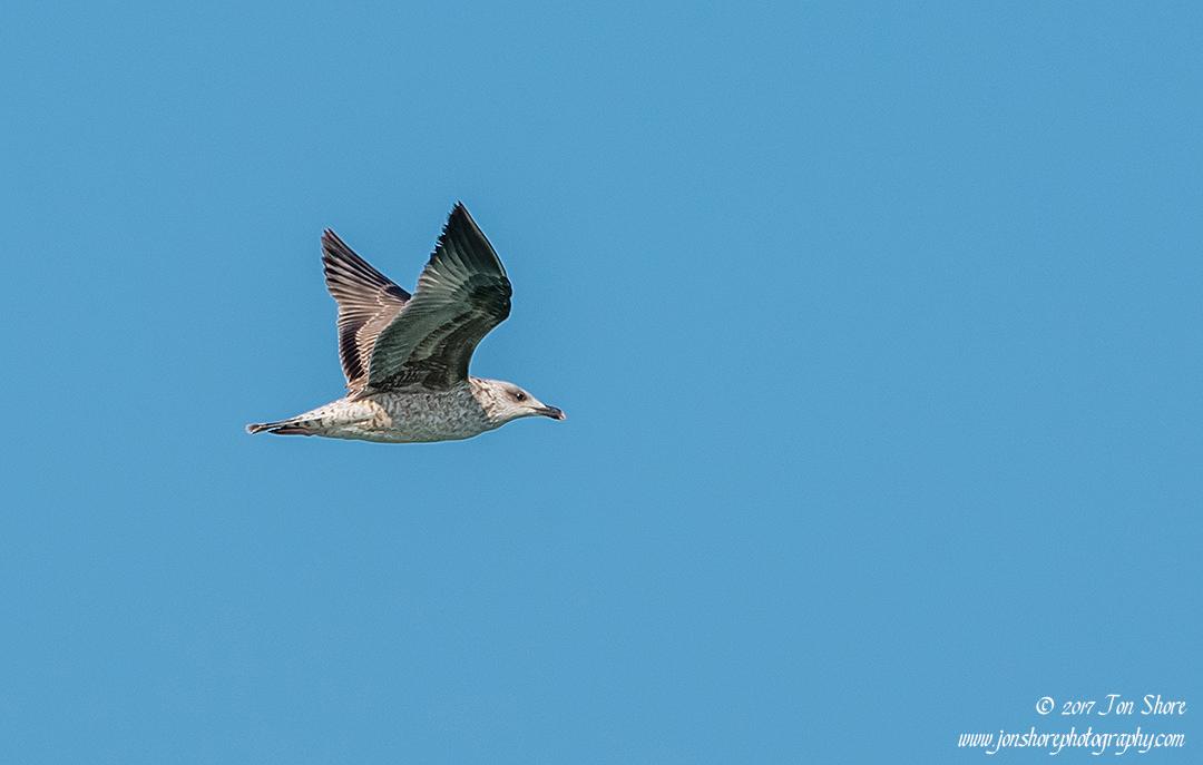 Seagulls over the Aegean Sea Vasto Italy