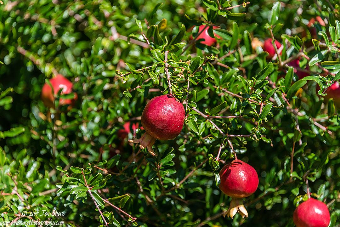 Pomegranates Vasto Italy September 2017
