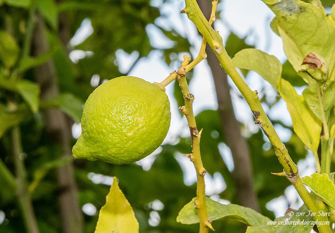 lemon San Marco di Castellabate Italy