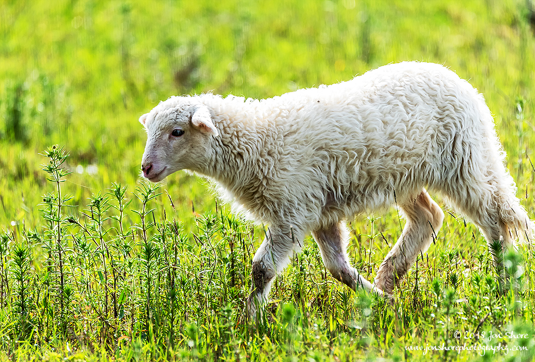 Agropoli Sheep Italy March 2018
