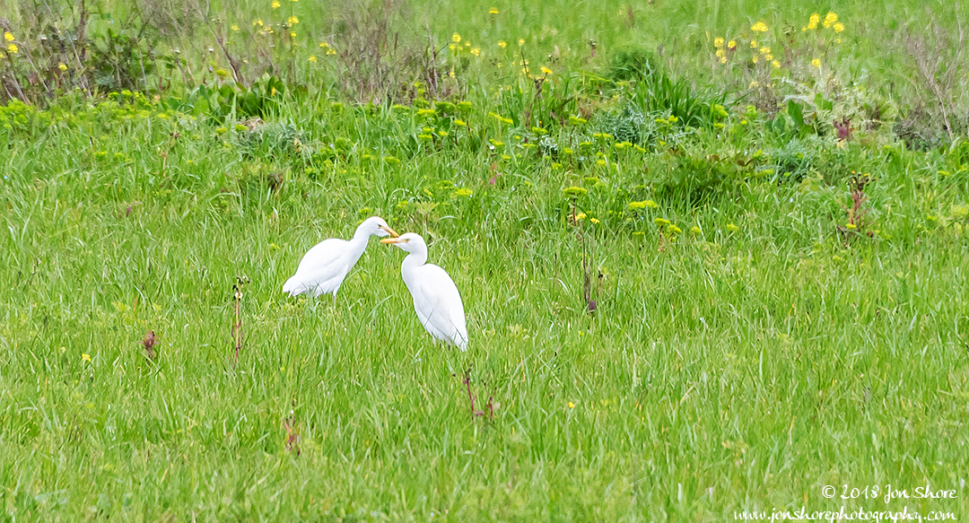 Cattle Egrets Agropoli Italy February 201