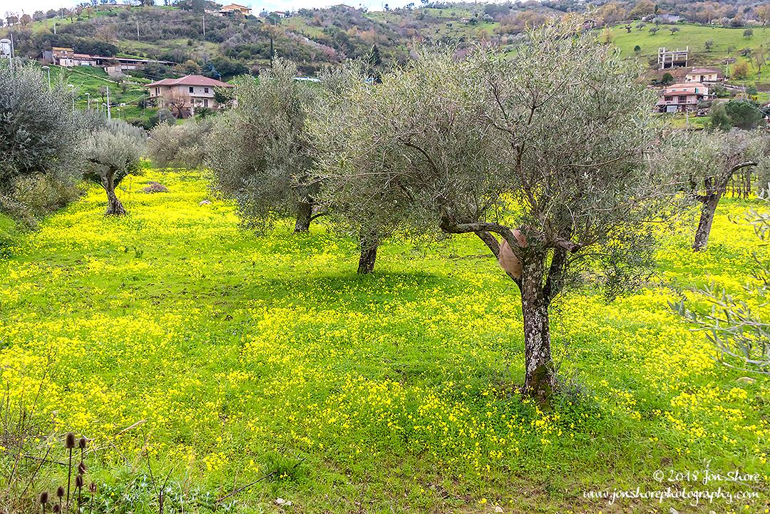 Olive grove Agropoli Italy February 2018