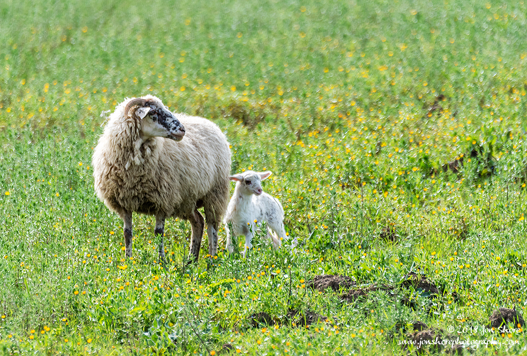 Sheep Agropoli Italy March 2018