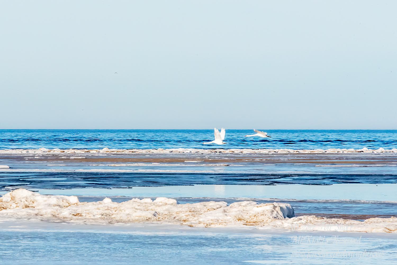 Swans Latvia Winter by Jon Shore