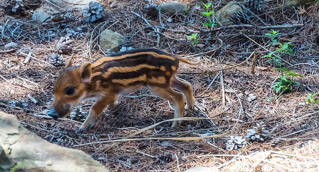 Baby Boar Spring Santa Maria di Castellabate