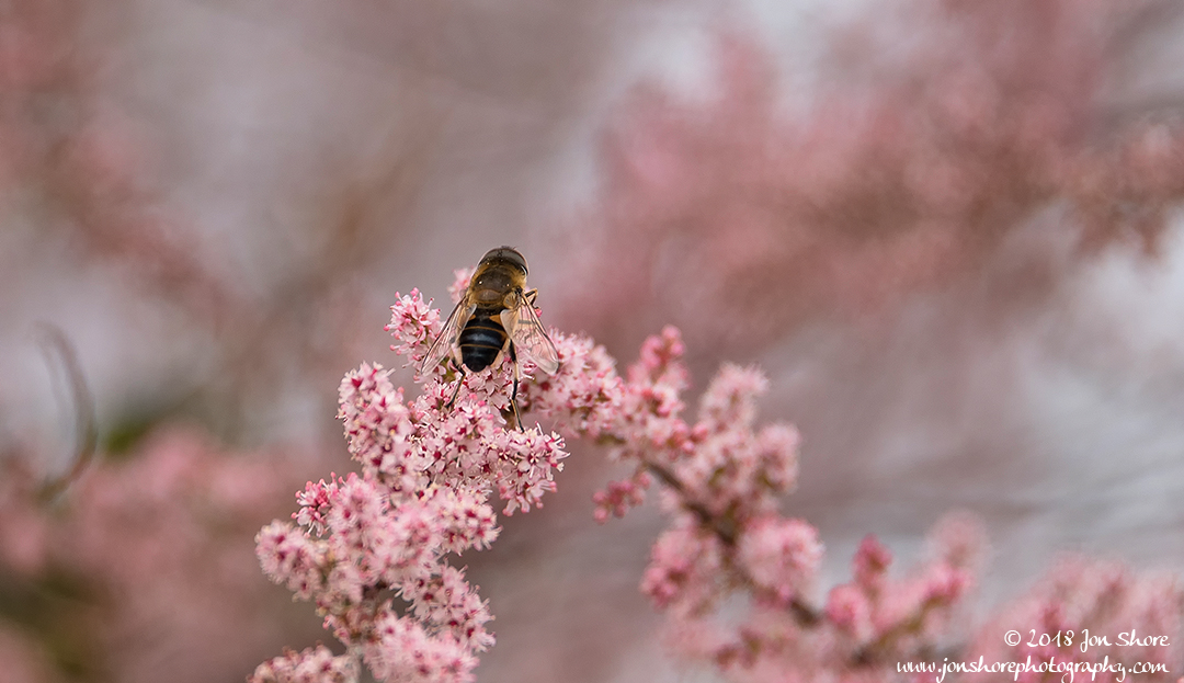 Bee on pink blossoms Spring