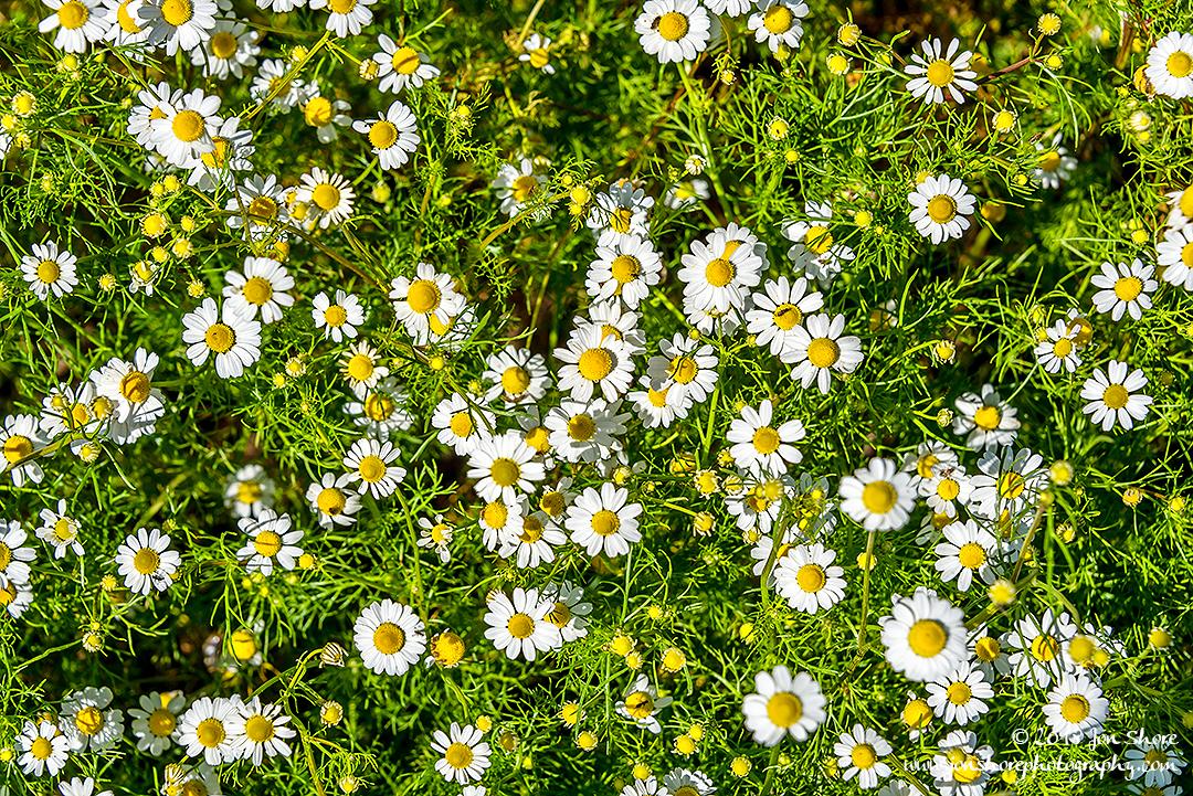 Daisies Spring Cilento Italy