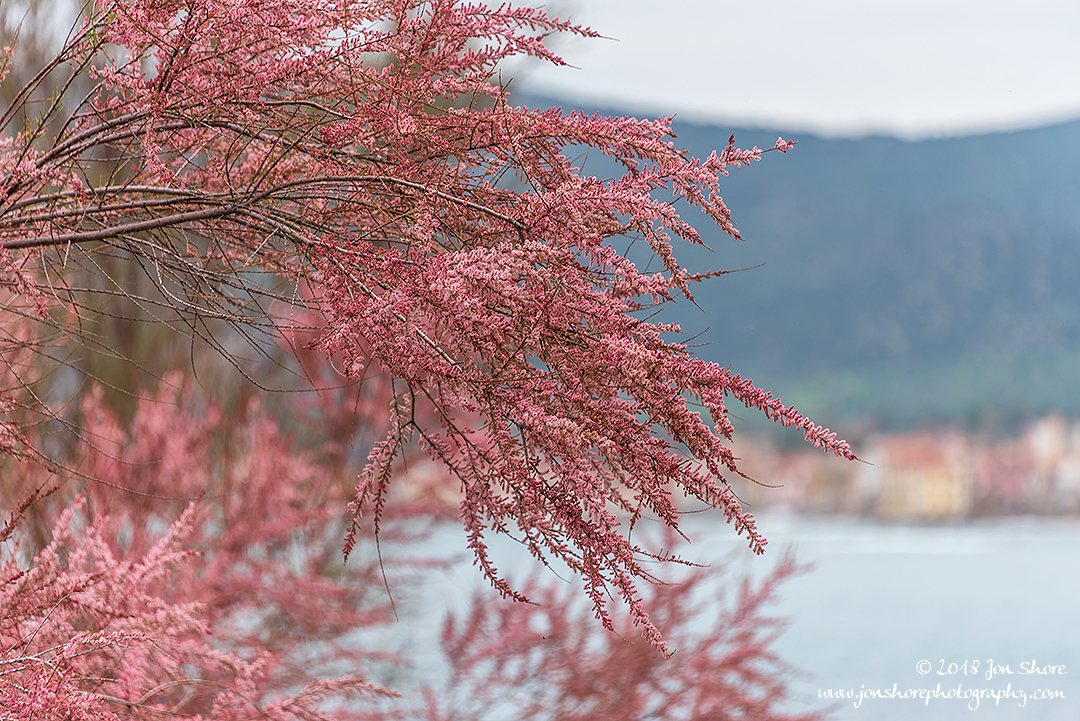 Pink Blossoms San Marco Spring