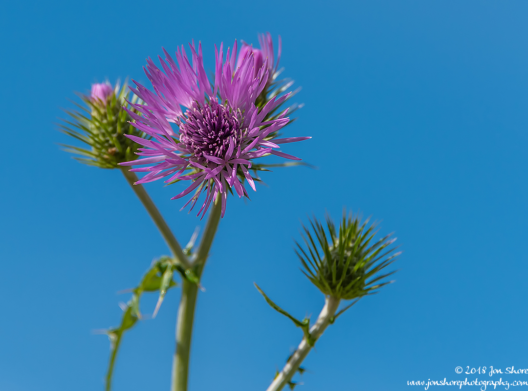 Thistle Spring at San Marco di Castellabate Italy