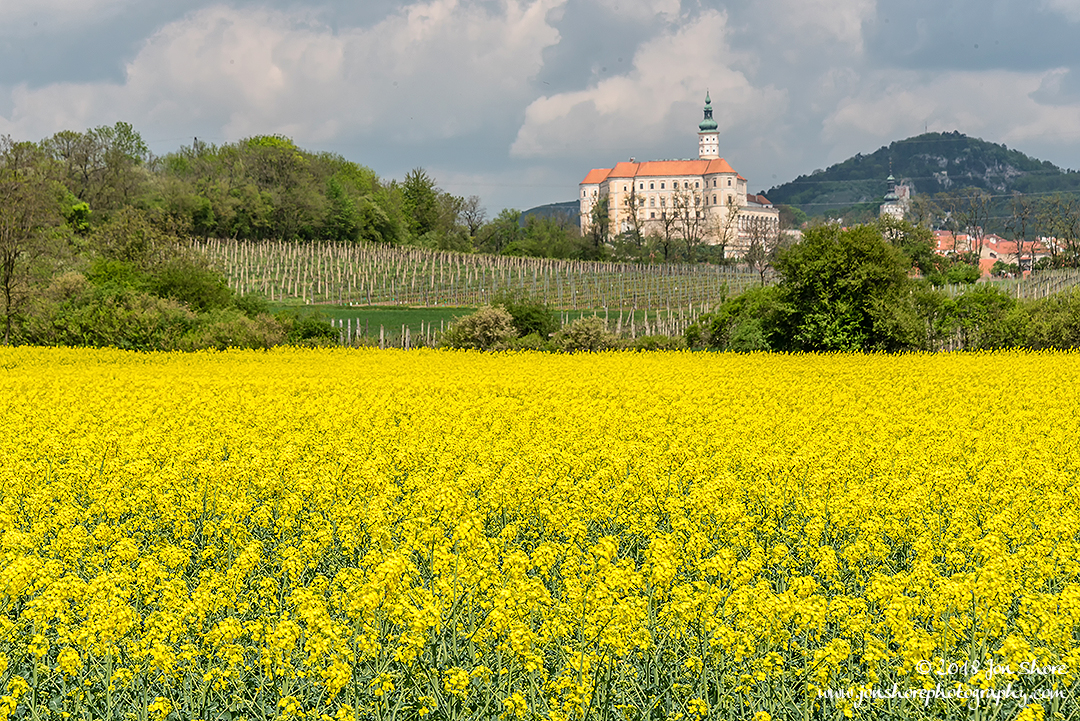 Yellow Rapeseed Flowers and Monastery in Czech Republic