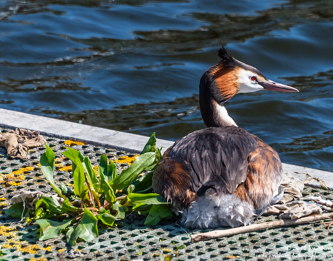Great Crested Grebe London