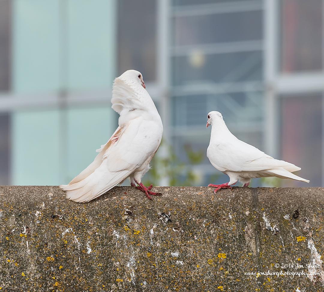 White Doves London