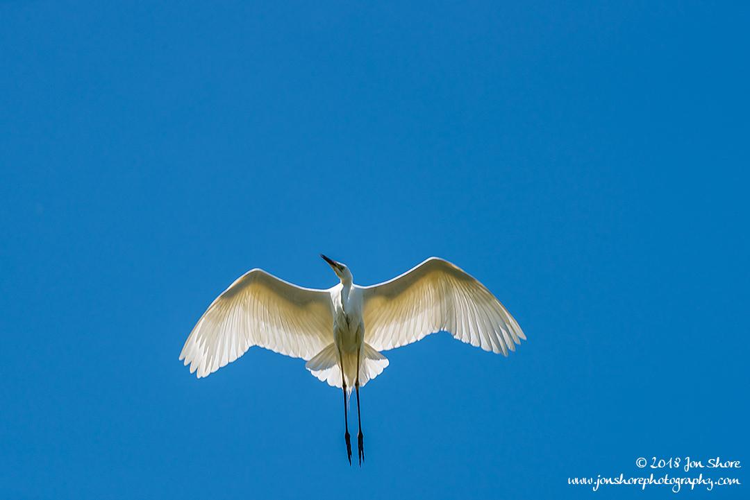 Great White Egret Kemeri National Park Latvia