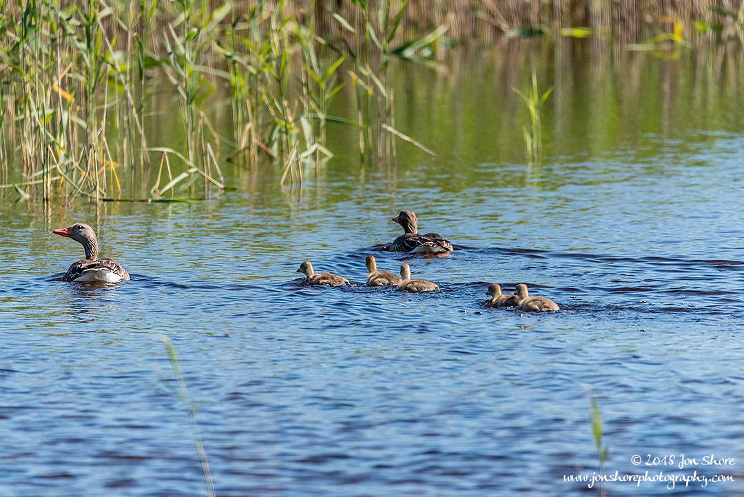 Greylag Geese Kemeri National Park Latvia