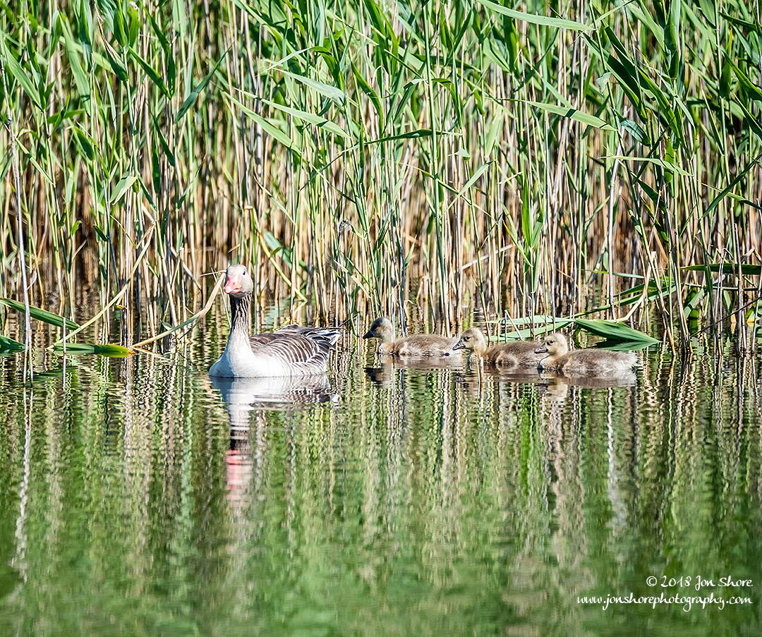 Greylag Geese Latvia