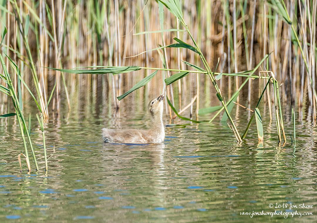 Greylag Gosling Kemeri National Park Latvia