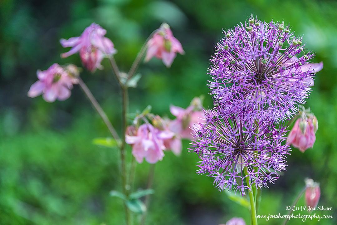 Round purple flowers, Latvia