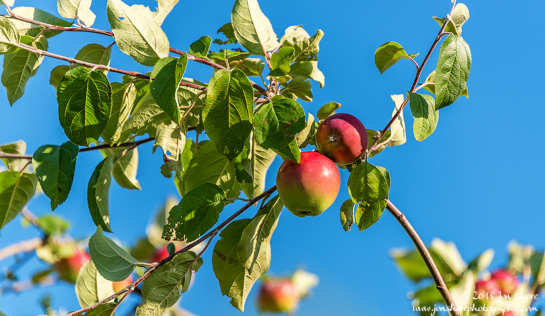 Apples Latvia July 2018