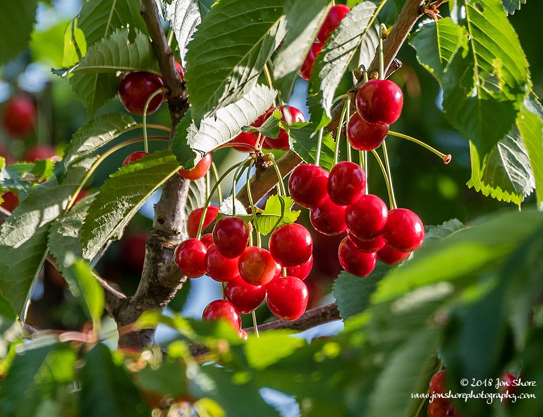 Cherries Latvia June 2018
