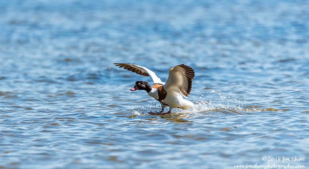 Common Shelduck Latvia June 2018