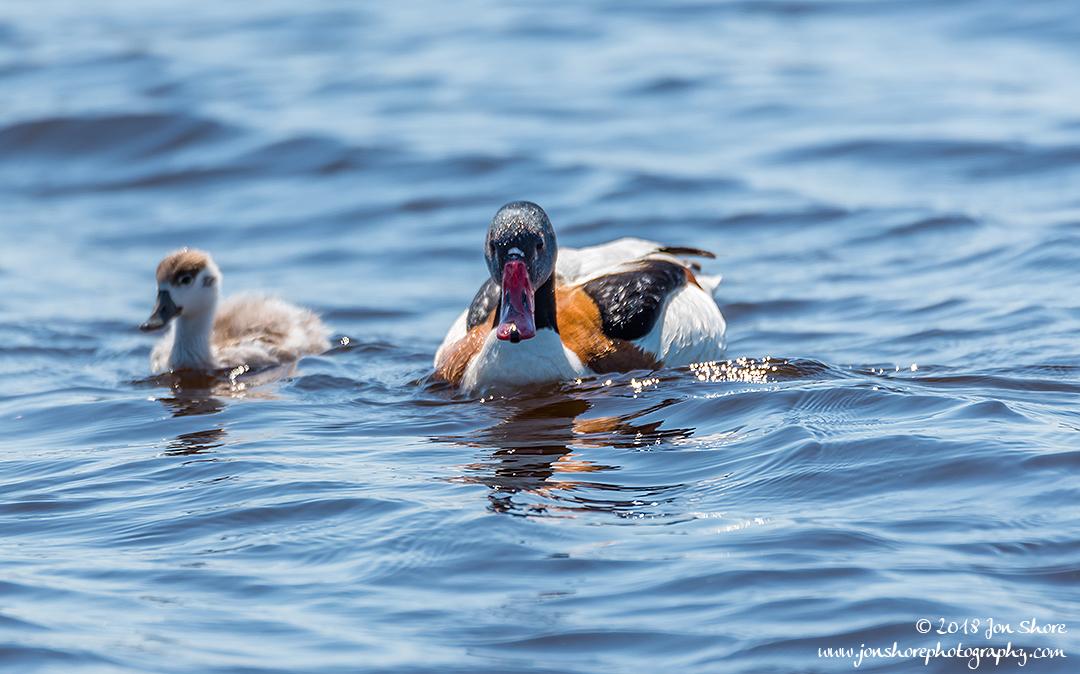 Common Shell Duck Latvia June 2018
