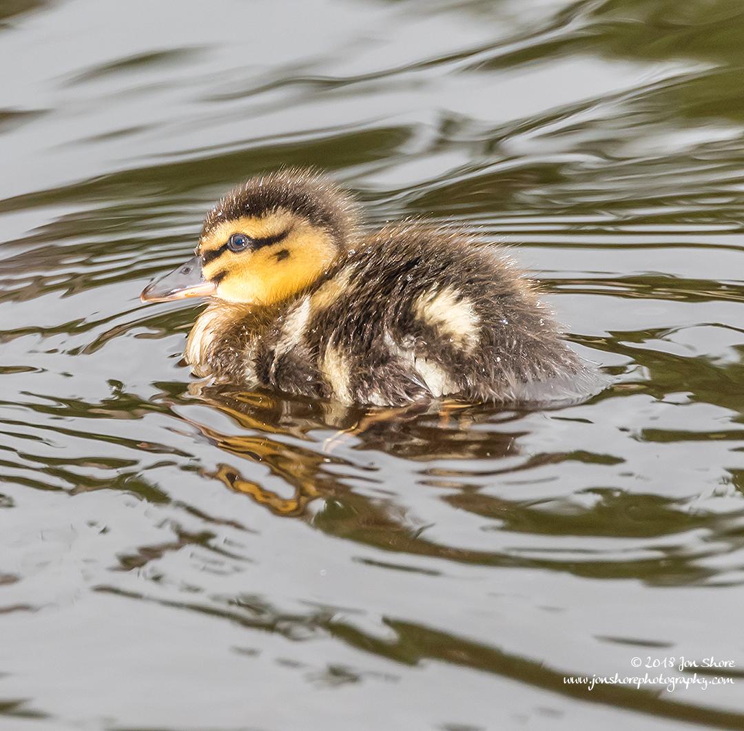 Mallard Duckling Latvia June 2018