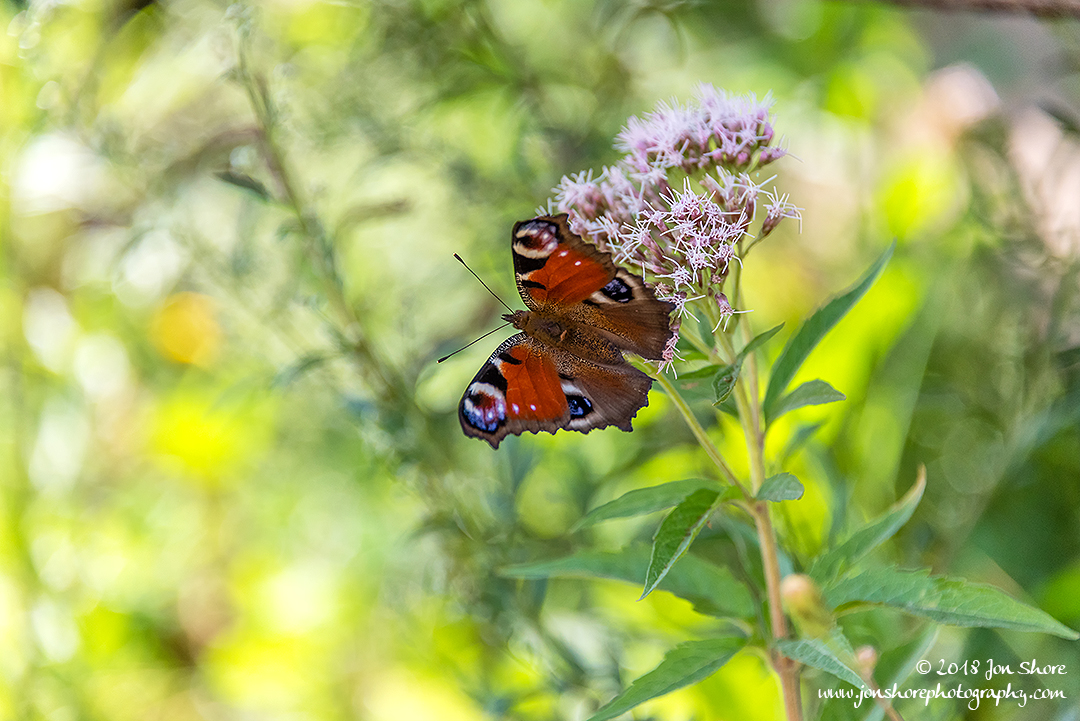 Red Admiral Butterfly Summer Latvia
