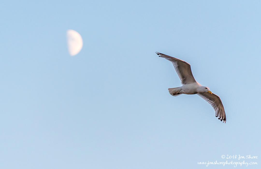 Seagull Moon Riga Latvia July 2018