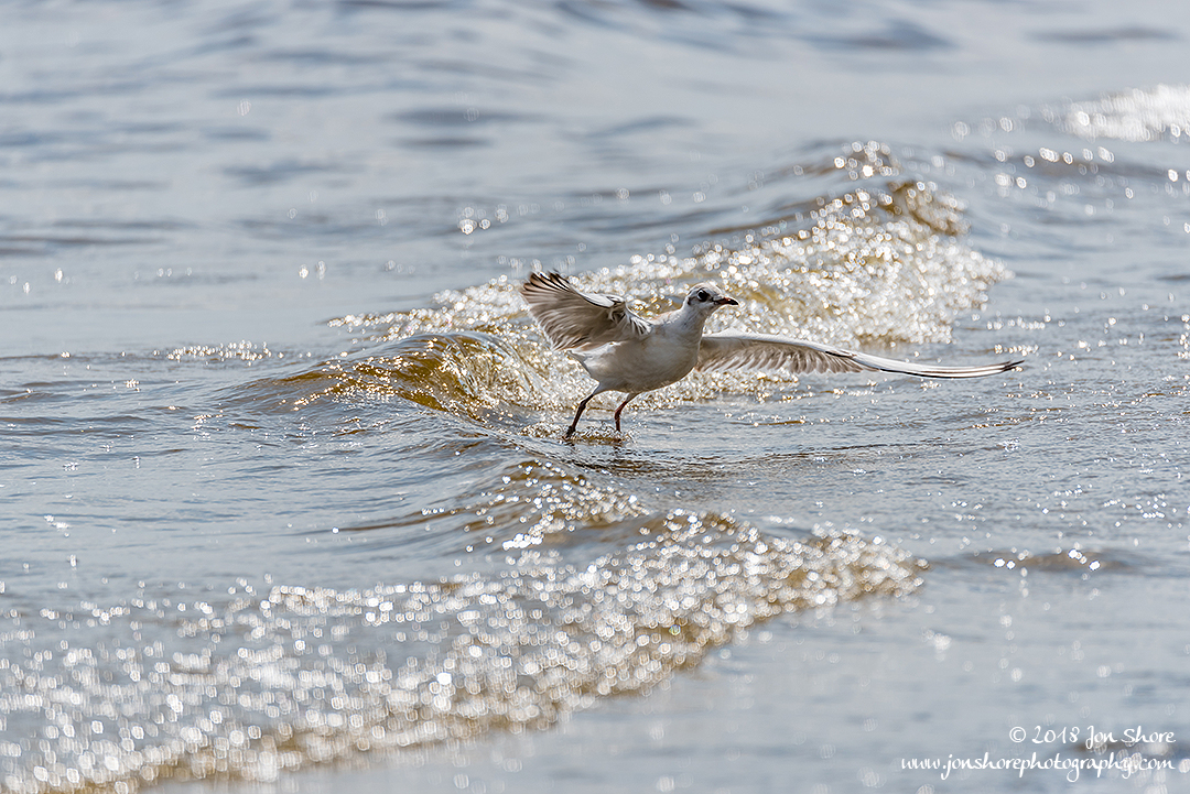 Seagull Summer Latvia