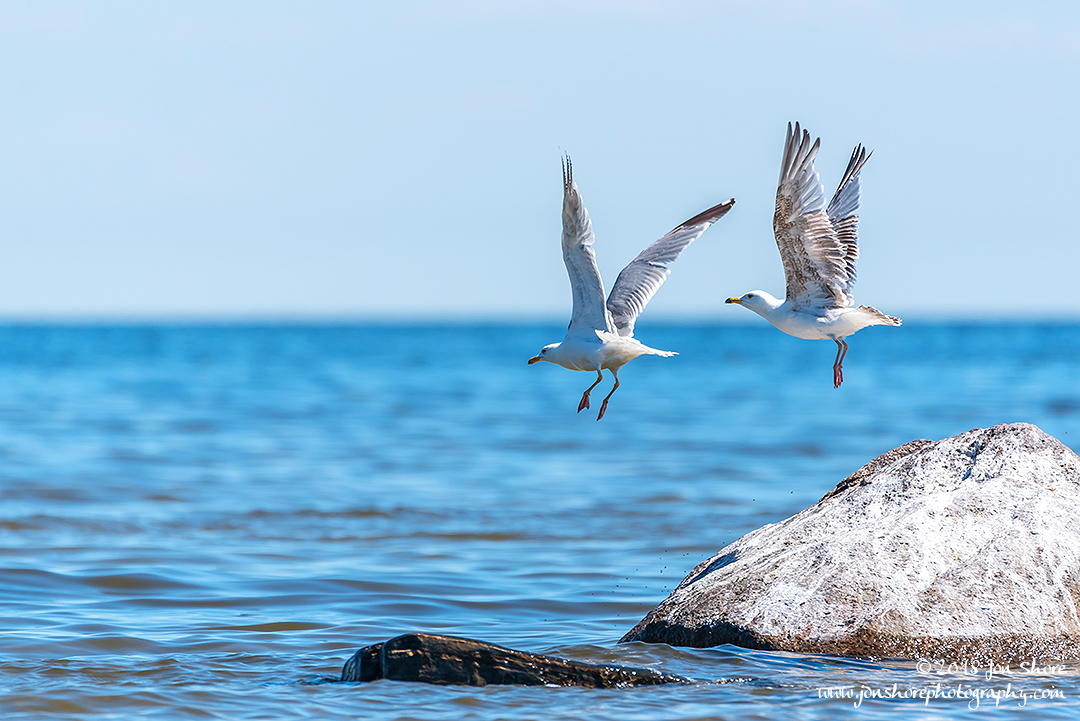 Seagulls Latvia June 2018