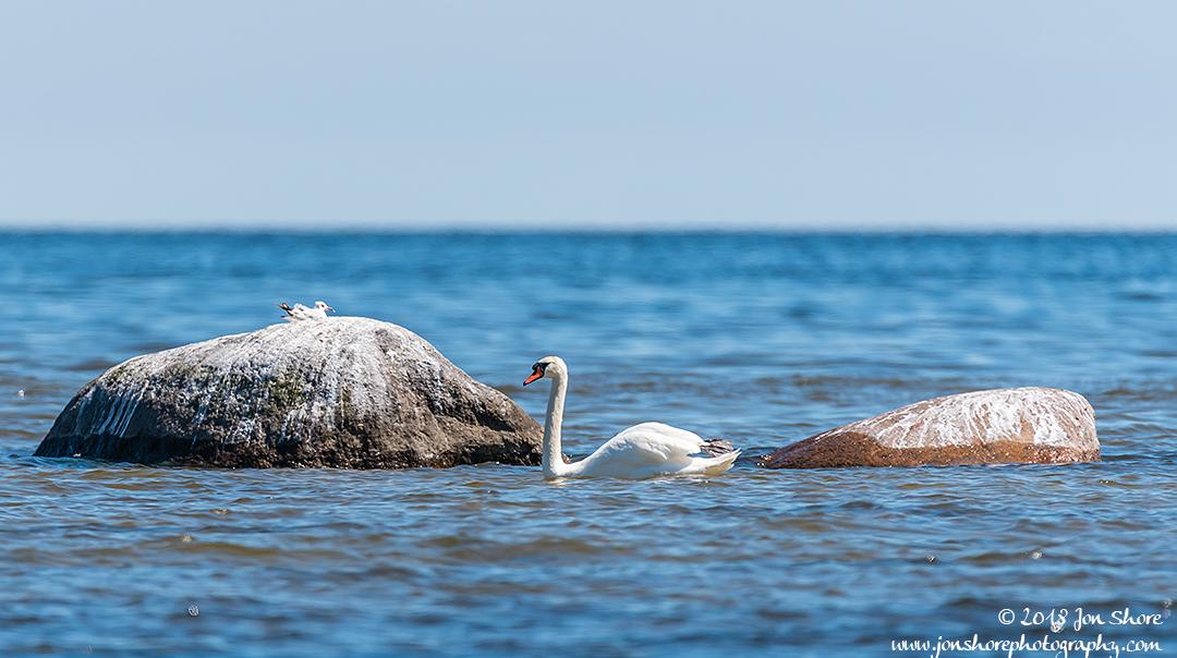 Swan Latvia June 2018