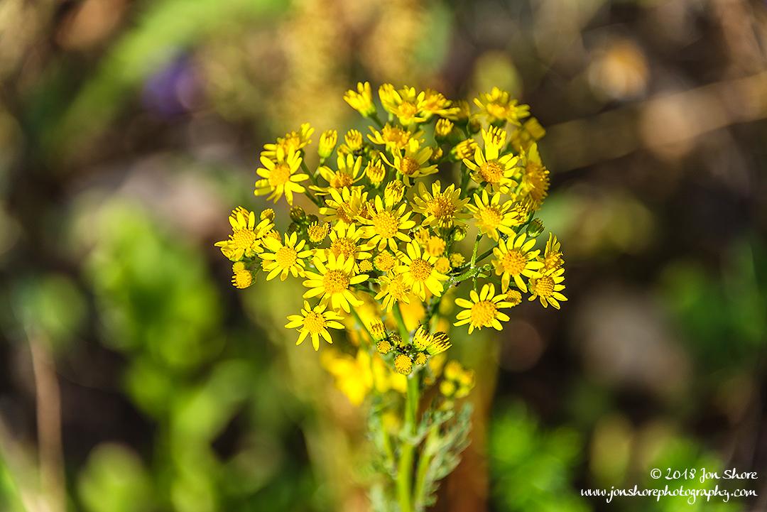 Yellow Wildflowers Latvia June 2018