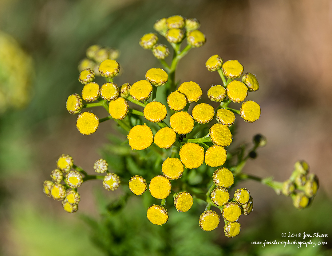 Yellow wildflowers Latvia July 2018