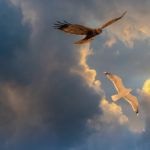 Sunset Seagull and Marsh Harrier in a Blue Sky Riga Latvia by Jon Shore March 2020 72dpi-8496