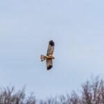 Marsh Harrier Kemeri Latvia by Jon Shore April 2021 72dpi-0584