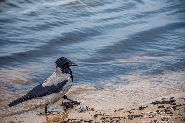 Black Headed Crow on a Latvian beach. Nikkor 300mm