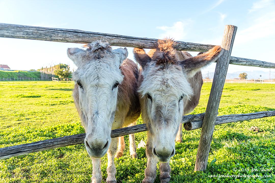 Donkeys Italy March 2018