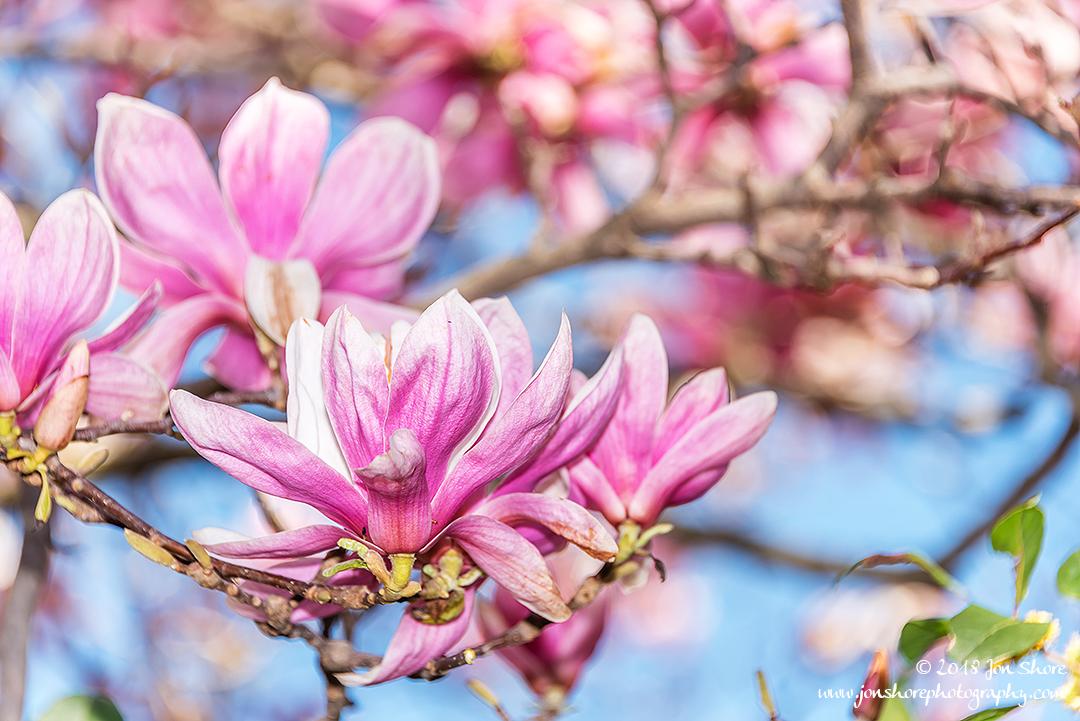 Pink Magnolias Eboli Italy March 2018
