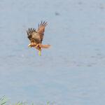 Raptor Wetland Summer Latvia by Jon Shore July 2021 72dpi-5164