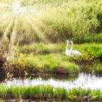 Rays of Light Swans Burtnieki Latvia by Jon Shore May 2021 72dpi-1397